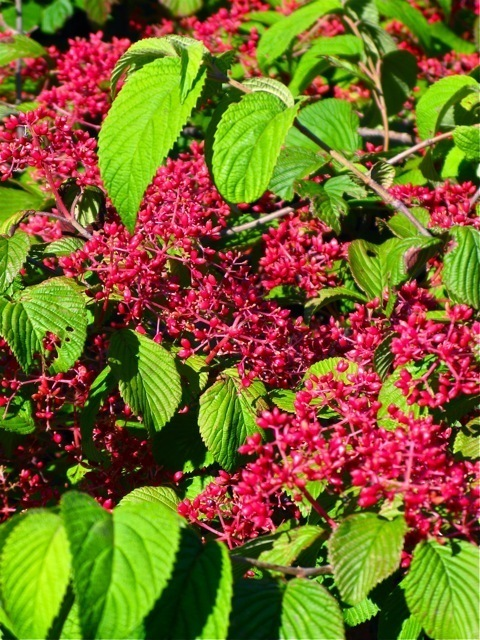 Although Doublefile Viburnum's red berries eventually ripen to black, the shrub is usually picked clean by birds long before the ruby fruit turns ebony. Photograph ⓒ Michaela at TGE